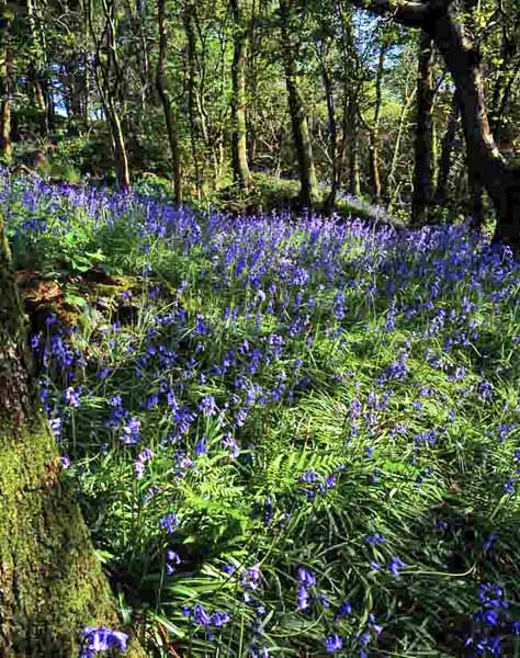 A carpet of bluebells beneath sunlit trees.